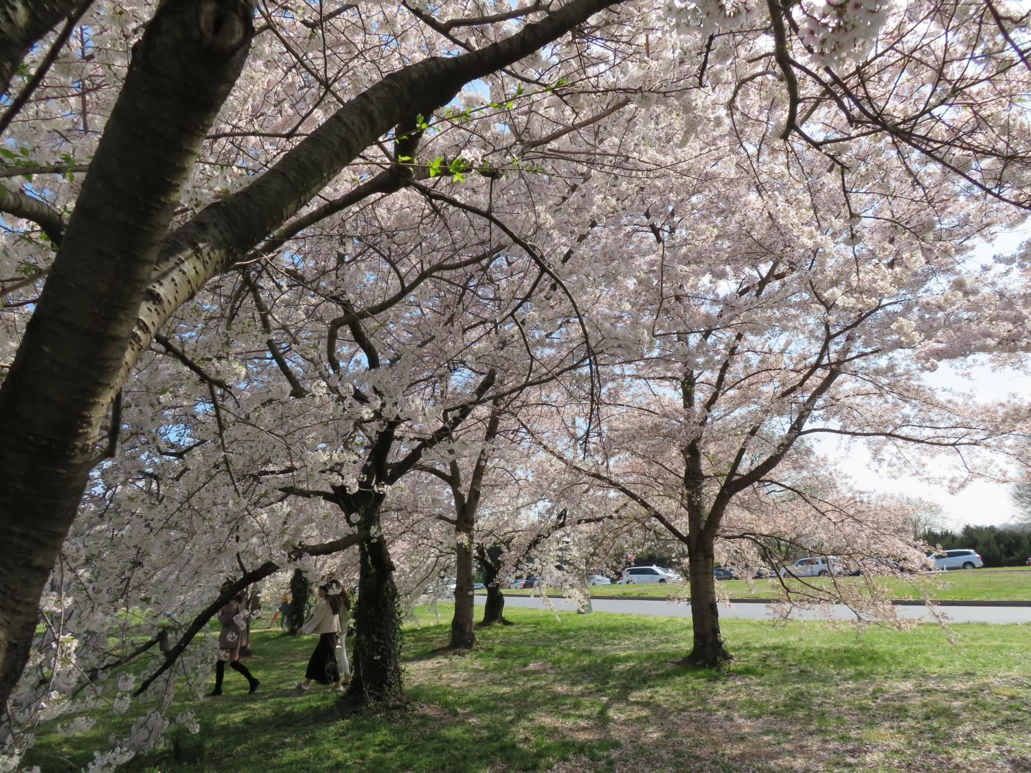 D.C.%27s+Cherry+Blossom+Festival+happens+annually%2C+and+you+can+see+them+bloom+throughout+the+area.
