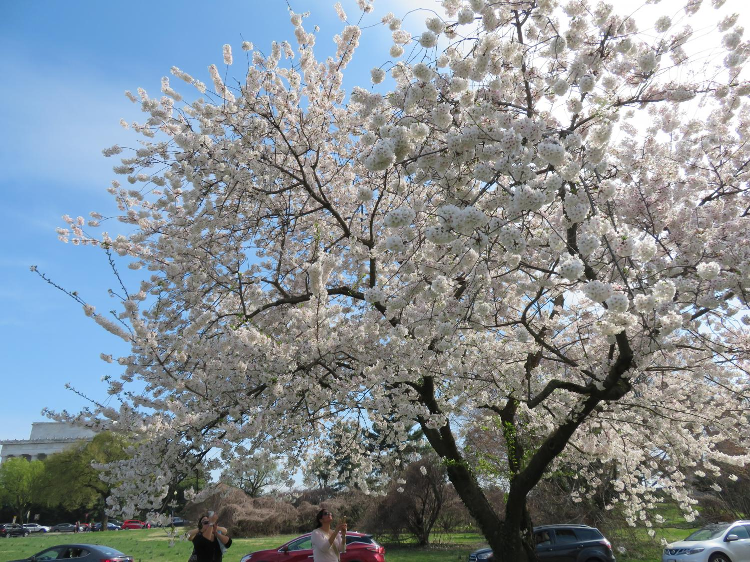 There+are+200+different+varieties+of+cherry+blossom+trees.