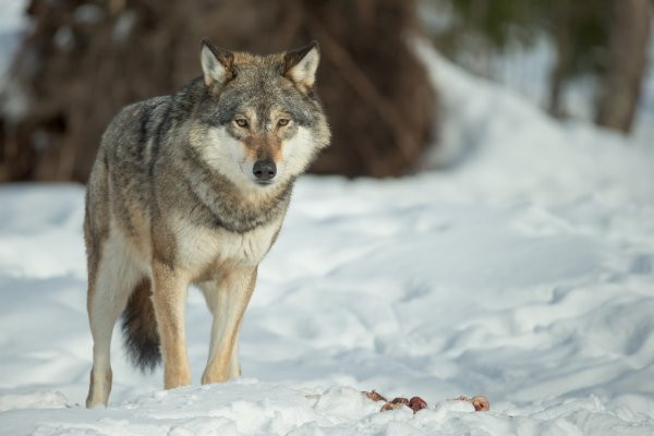 Wealth for Wolves